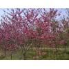 金丝梅、五色梅、红叶桃、碧桃