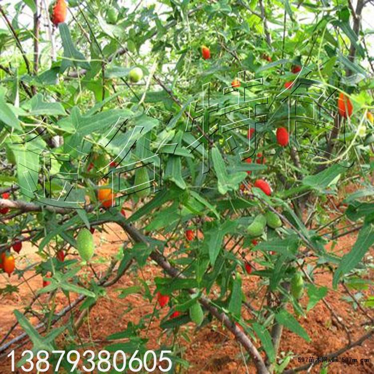 供应优质高产水果新品 红参果种子 林木种子 绿化苗木