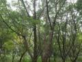 成都萬樹園林元寶楓