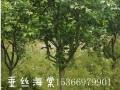 嘉宏苗木场垂丝海棠