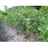 日本柿子苗,日本柿子树苗,日本甜柿子苗价格