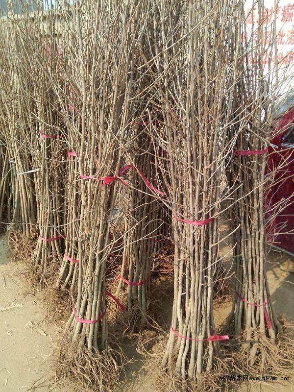 银杏小苗价格 绿化苗木 供应信息 597苗木