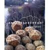 安徽肥西红叶李 乌桕 三角枫 石楠球最好苗木供应