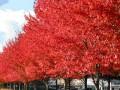 美国红枫树价格