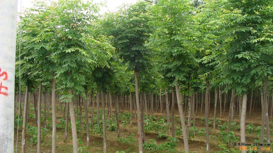 天津10公分国槐多少钱国槐规格|绿化小苗|绿化苗木