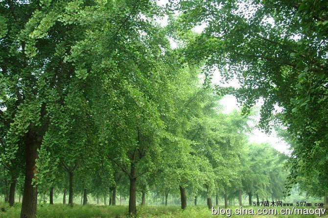全国最大银杏苗木产销基地-山东郯城