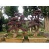 造型红花继木桩,造型红花继木盆景