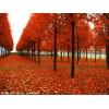 美国红枫 日本红枫  北美红枫  红枫价格
