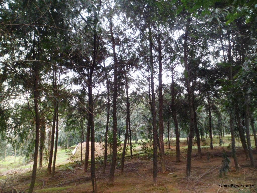 南方红豆杉,常绿乔木,树皮淡灰色,纵裂成长条薄片;芽鳞顶端钝或稍尖