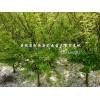 安徽垂絲海棠 石楠球 紫薇優質苗木供應商