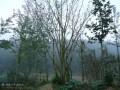湖北紫薇树
