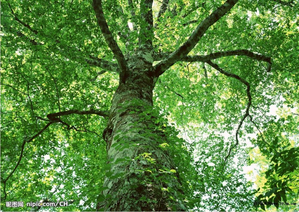 大树移植不仅不增加森林资源,反而因为切根截冠减少了生物量,影响了