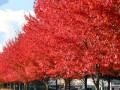 南京美国红枫的价格
