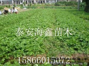 四季草莓苗 果树小苗 绿化苗木 供应信息 597苗木网