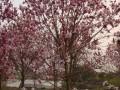 红玉兰树的价格