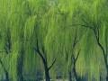 金丝垂柳价格 柳树价格