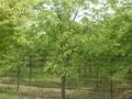 10公分的榉树价格