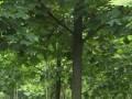 江苏马褂木价格 鹅掌楸价格