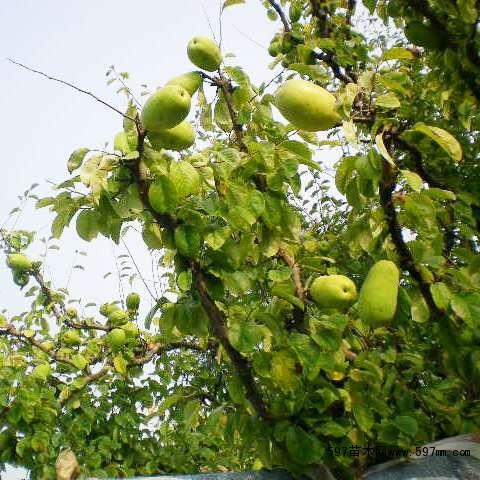 1公分光皮木瓜苗,2公分木瓜苗,木瓜大树,绿化用木瓜树