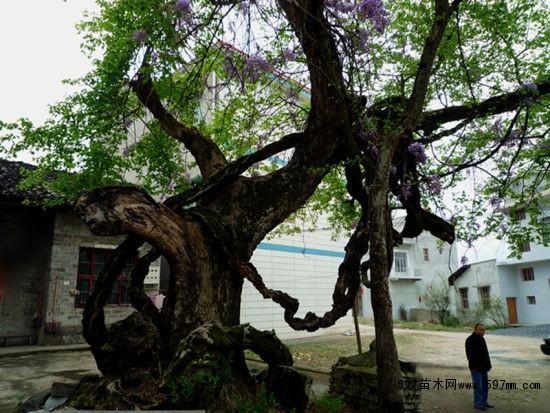 """紫藤古树   这棵几百年的古紫藤位于上海成陆前的古海岸沙冈之上的古藤园内。其原址曾是一乡间集镇,俗称""""紫藤棚镇"""",现在闵行临沧路148号,近闵行经济技术开发区。古藤园虽然建园时间不长,但园内的一棵紫藤却有450多年的历史,为沪上紫藤之最,系明嘉靖年间乡贤、诗人董宜阳手植。紫藤开花时香气馥郁,青紫相映,冠盖半街,远望如天半紫霞,煞是壮观。  江南第一牡丹   寻踪:江南第一牡丹   树龄:400岁"""