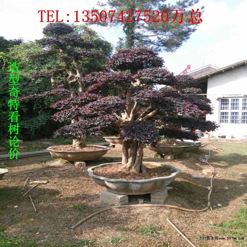 红花继木造型盆景价格