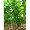 供应法桐树苗 3公分法桐树苗价格
