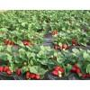 草莓苗什么品种好 山东草莓苗品种