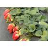 重庆草莓苗价格 云南草莓苗价格