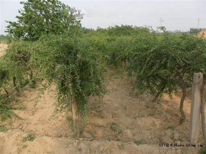本基地常年培育大量枸杞苗,是北方最大的枸杞苗培育种植基地之一。天津绿野枸杞苗种植基地,占地2000亩,在天津市郊有北辰、静海、西青三大子基地,农村合作社两处,是天津市农业部正式扶植枸杞苗木种植基地,为天津城市周边提供了新型的高效率高经济作物,在城市绿化,农下经济,高科技农业方面取得了良好的口碑和喜人的业绩。 本基地枸杞苗均为本基地种植,无一株倒苗,达到了前接待后生产,保证最低的出售价格,保证了广大农户的供应量和枸杞苗的质量稳定性。 天津绿野枸杞苗基地,常年供应枸杞苗,可以保障从订货起苗,保湿运输,现场实地