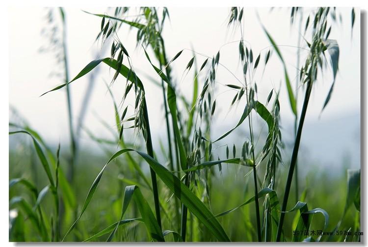 批发牧草种子燕麦是小动物的绿色植物饲料