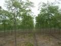 6-10公分的榉树价格