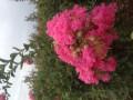 红花紫薇小苗