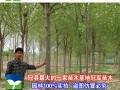 专供毛白杨国槐