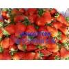三叶一心草莓苗
