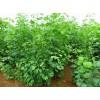银杏苗多少钱一棵%想买银杏苗哪里有卖的%