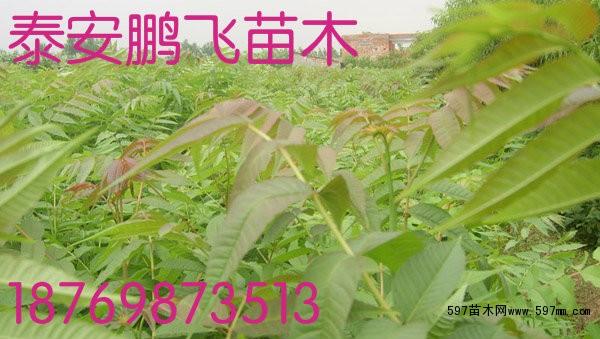 香椿苗价格 温室大棚香椿苗花椒苗栽培种植 香椿|果树