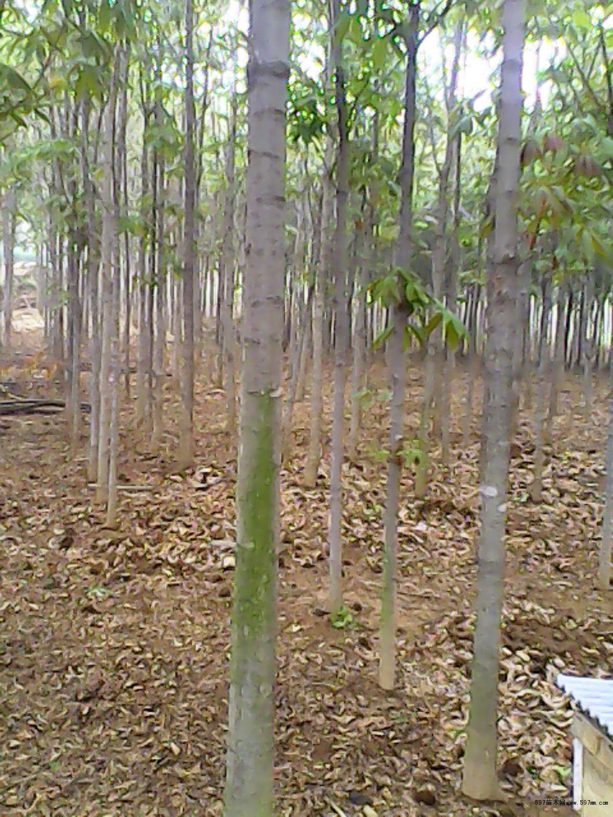 七叶树苗木价格_七叶树价格七叶树苗木价格