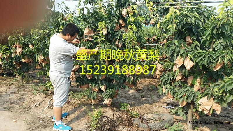 出售3至8公分梨树石榴树各种果树 果树小苗 绿化苗木