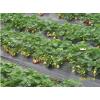 幸香草莓苗、最新草莓苗价格