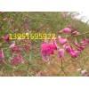 沙漠骄子花棒柠条沙打旺多花木兰紫花苜蓿种子快递全中国
