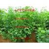 想要买银杏树苗哪有卖,买银杏树苗哪里便宜