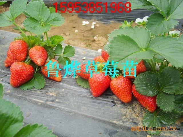 草莓苗结果