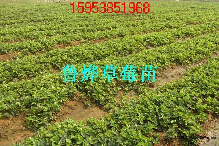 草莓苗育苗