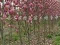 紫玉蘭嫁接苗