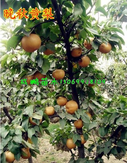 ◆临沂成鹏果树苗木