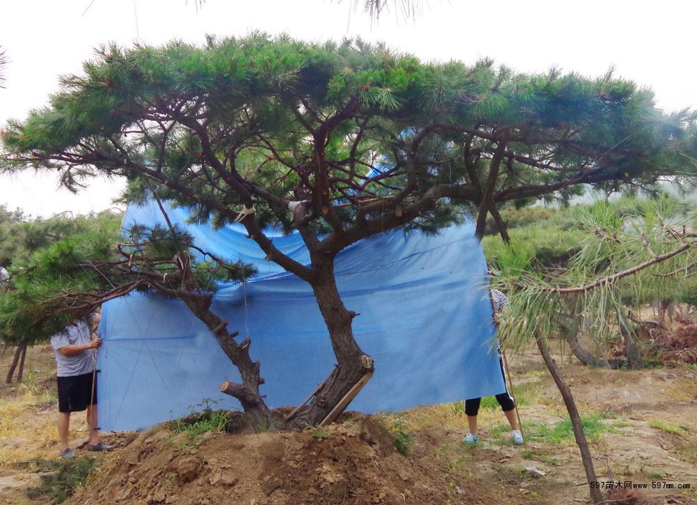 大量供应精品造型松树|阳光造型松基地|乔灌木|绿化