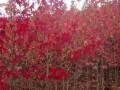 北美枫香树价格