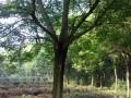 精品重阳木