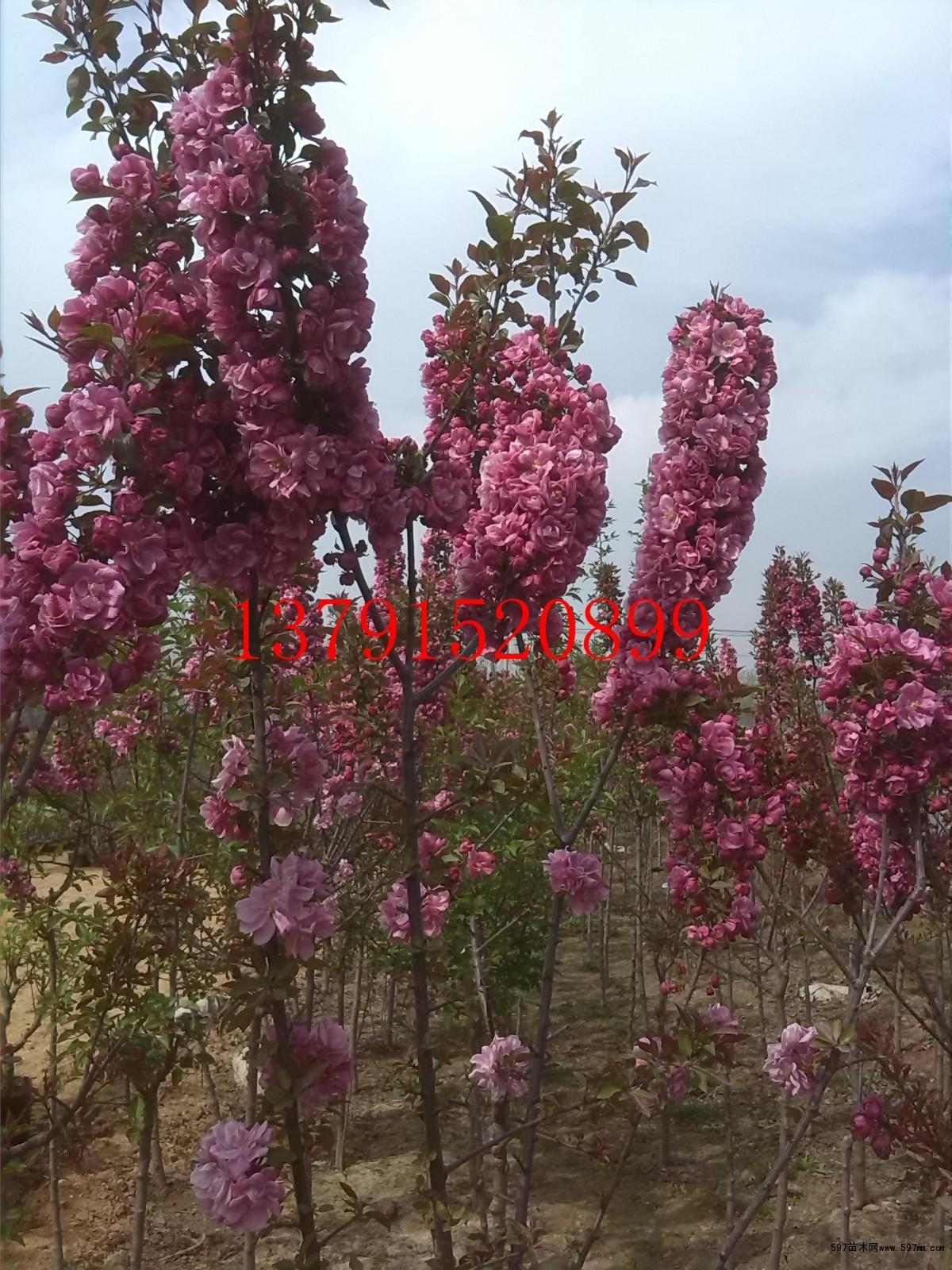 北美海棠品种图片|苗木|苗木图库|597苗木网