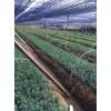 江西绿化苗|乔木|主打品种|江西红豆杉|红豆杉盆景